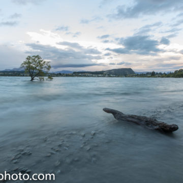 The Wanaka Tree after the rain in Wanaka, NZ